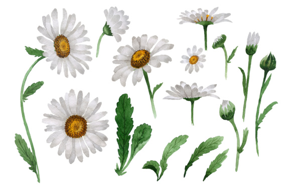 Print on Demand: Beautiful Flower White Daisy PNG Watercolor Set Graphic Illustrations By MyStocks