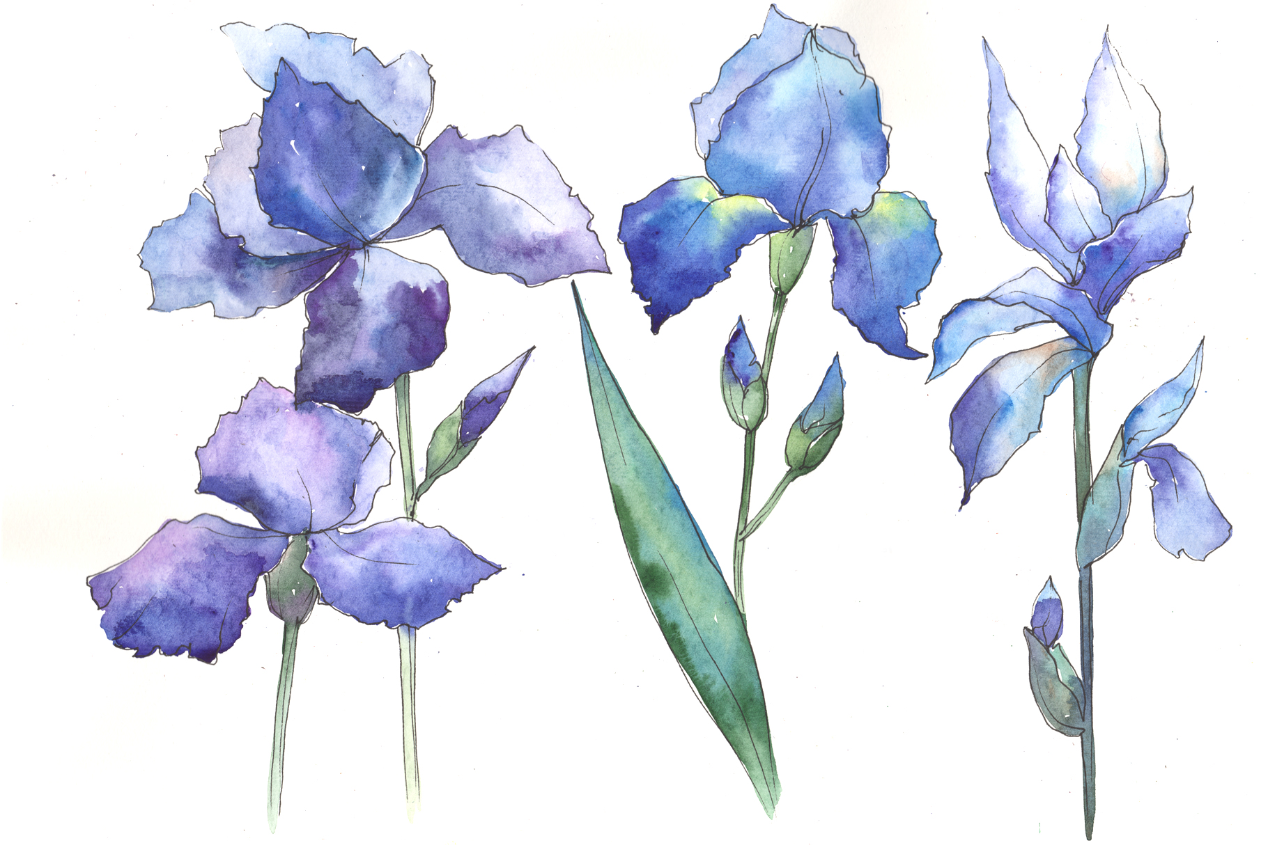Watercolor Blue Irises Flowers Png Set Graphic By Mystocks