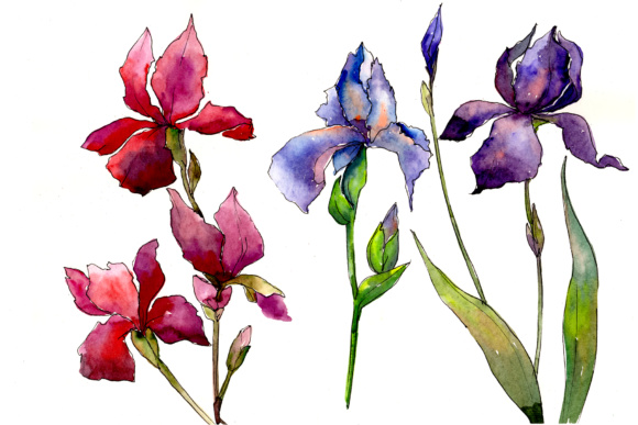 Print on Demand: Red and Purple Irises Flowers Watercolor Set Graphic Illustrations By MyStocks
