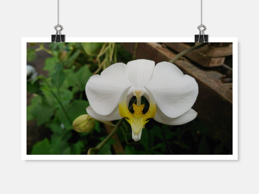 Download Free White Orchid Graphic By Widyaav Creative Fabrica for Cricut Explore, Silhouette and other cutting machines.