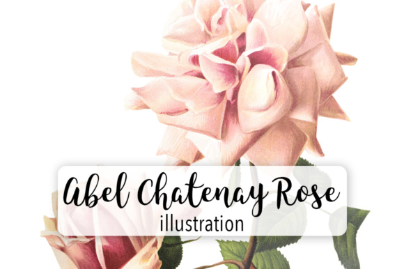 Abel Chatenay Rose Watercolor Graphic Illustrations By Enliven Designs
