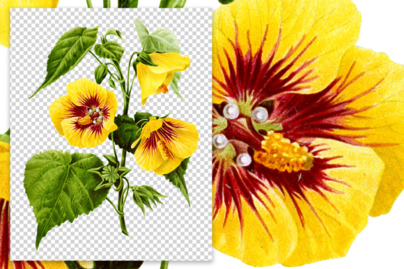 Download Free Abutilon Sinense Watercolor Graphic By Enliven Designs Creative Fabrica for Cricut Explore, Silhouette and other cutting machines.