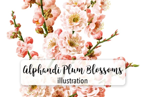 Alphandi Plum Blossems Watercolor Graphic Illustrations By Enliven Designs