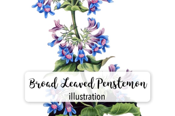 Broad Leaved Penstemon Watercolor Graphic Illustrations By Enliven Designs