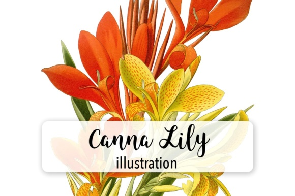 Canna Lily Indian Shot Watercolor Graphic Illustrations By Enliven Designs