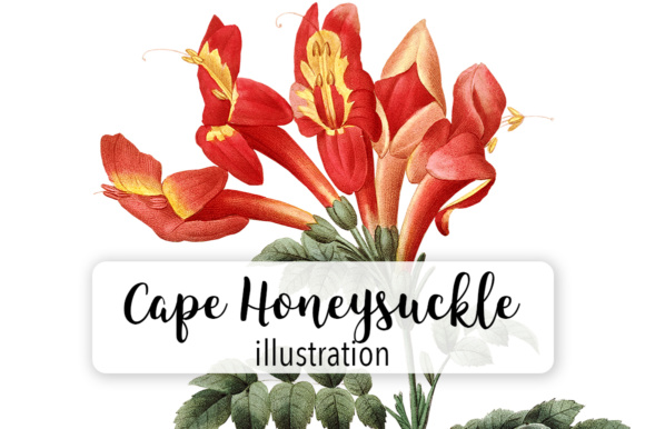 Cape Honeysuckle Watercolor Graphic Illustrations By Enliven Designs - Image 1