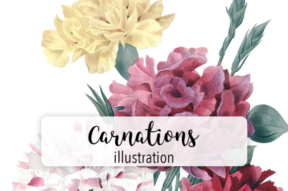 Carnation Varieties Graphic