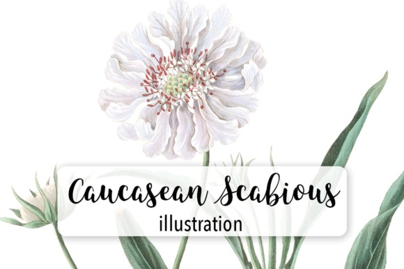 Caucasean Scabious Graphic Illustrations By Enliven Designs