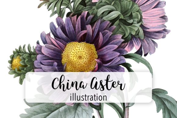 China Aster Watercolor Graphic Illustrations By Enliven Designs