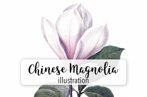 Chinese Magnolia Graphic Illustrations By Enliven Designs