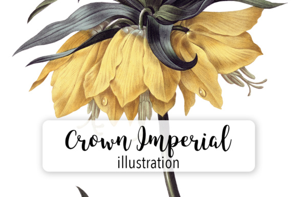 Crown Imperial Lily Graphic Illustrations By Enliven Designs