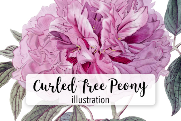 Curles Tree Peony Watercolor Graphic Illustrations By Enliven Designs