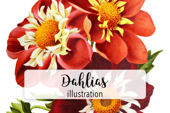 Dahlias Watercolor Graphic Illustrations By Enliven Designs - Image 1