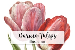 Darwin Tulips Graphic Illustrations By Enliven Designs