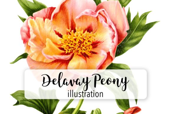 Delavay Peony Graphic Illustrations By Enliven Designs