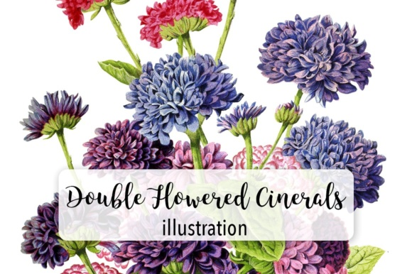 Double Flowered Cinerals Graphic Illustrations By Enliven Designs