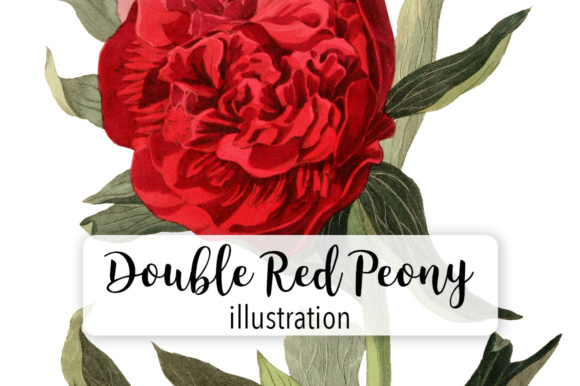 Double Red Officinal Peony Watercolor Graphic Illustrations By Enliven Designs
