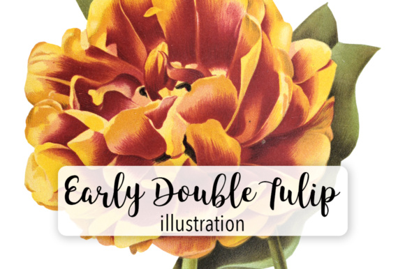 Early Double Tulip Toreador Graphic Illustrations By Enliven Designs