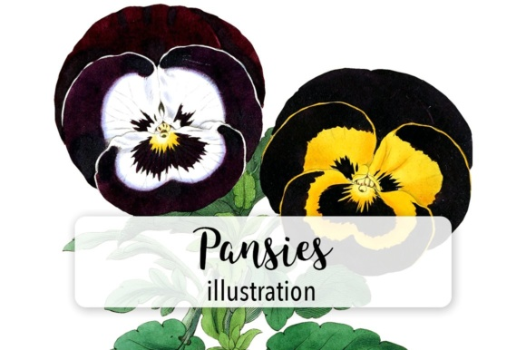 Flowers: Vintage Pansies Graphic Illustrations By Enliven Designs