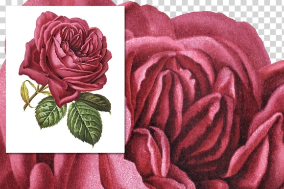 French Rose Watercolor Graphic Illustrations By Enliven Designs - Image 3