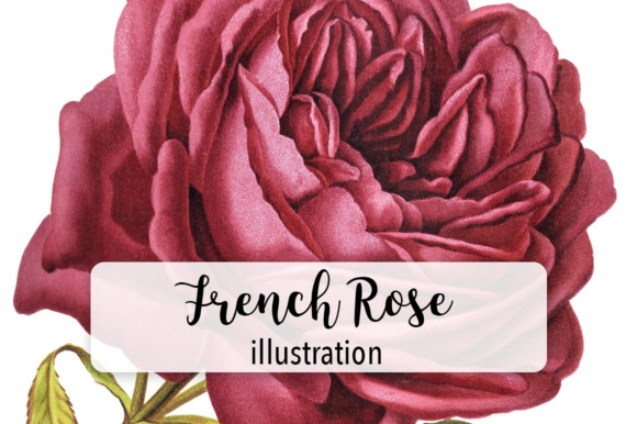 French Rose Watercolor Graphic Illustrations By Enliven Designs