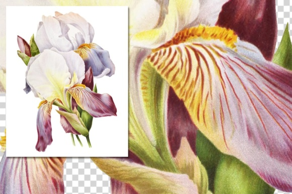 German Iris Watercolor Graphic Illustrations By Enliven Designs - Image 3