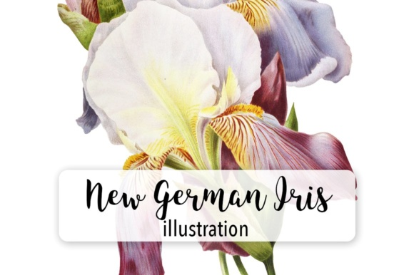 German Iris Watercolor Graphic Illustrations By Enliven Designs