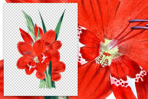 Gladiolus Cruentus Watercolor Graphic Illustrations By Enliven Designs - Image 3
