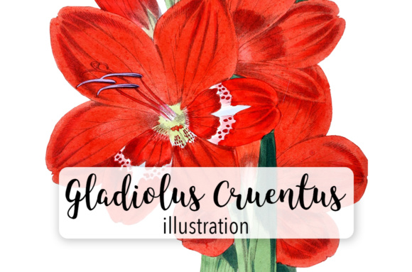 Gladiolus Cruentus Watercolor Graphic Illustrations By Enliven Designs - Image 1