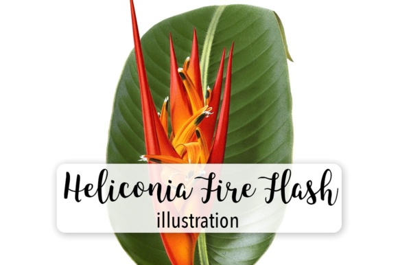 Heliconia Fire Flash Watercolor Graphic Illustrations By Enliven Designs