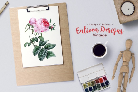 Hundred Leaf Watercolor Rose Graphic Illustrations By Enliven Designs