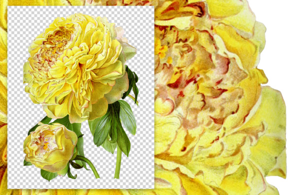 Hybrid Delavay Peonies Graphic Illustrations By Enliven Designs - Image 3