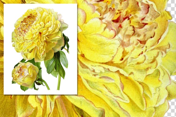 Hybrid Delavay Peonies Graphic Illustrations By Enliven Designs - Image 4