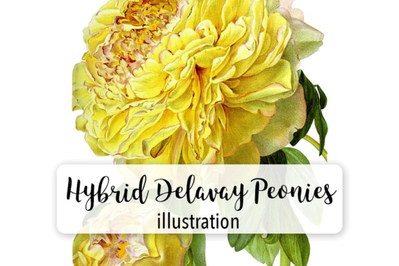 Hybrid Delavay Peonies Graphic Illustrations By Enliven Designs