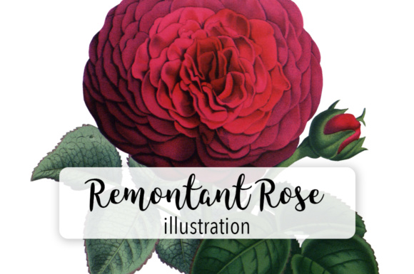 Hybrid Remontant Watercolor Rose Graphic Illustrations By Enliven Designs