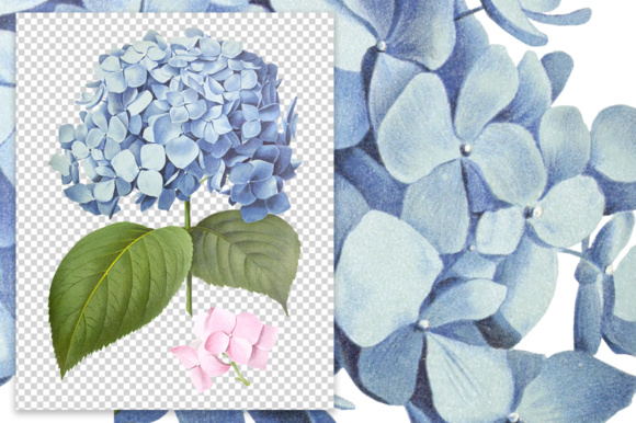 Hydrangea Hortensis Graphic Illustrations By Enliven Designs - Image 4