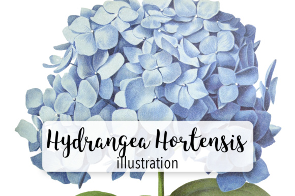 Hydrangea Hortensis Graphic Illustrations By Enliven Designs