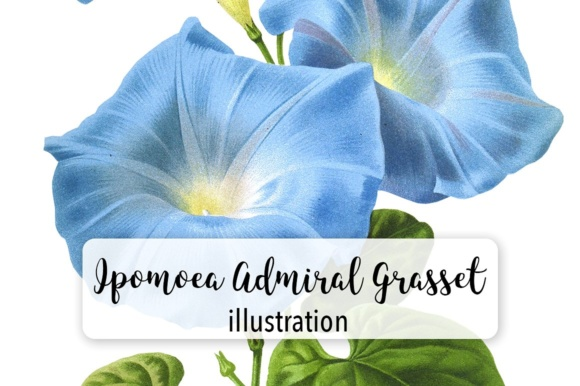 Ipomoea Admiral Grasset Watercolor Graphic Illustrations By Enliven Designs