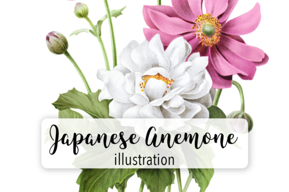 Japanese Anemone Watercolor Graphic