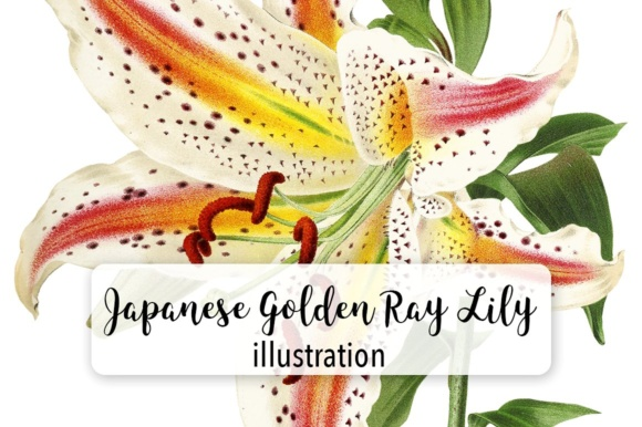 Japanese Golden Ray Lily Watercolor Graphic Illustrations By Enliven Designs