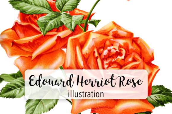 Madame Edouard Herriot Rose Graphic Illustrations By Enliven Designs