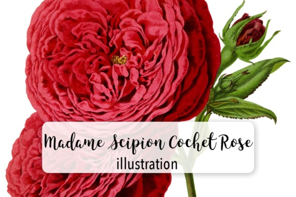 Madame Scipion Cochet Rose Watercolor Graphic Illustrations By Enliven Designs