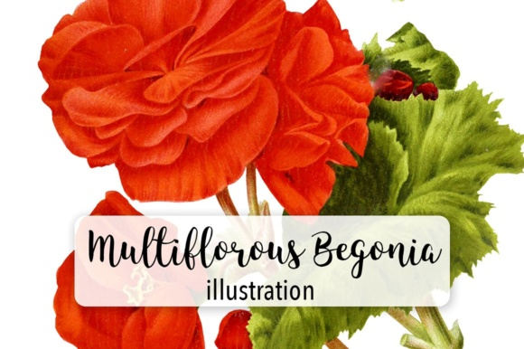 New Multiflorous Begonia Watercolor Graphic Illustrations By Enliven Designs