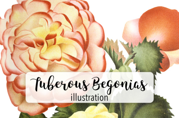 New Tuberous Begonia with Double Flowers Watercolor Graphic Illustrations By Enliven Designs