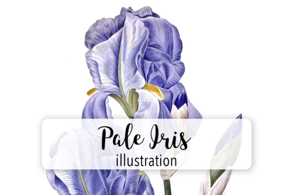 Pale Iris Watercolor Graphic Illustrations By Enliven Designs