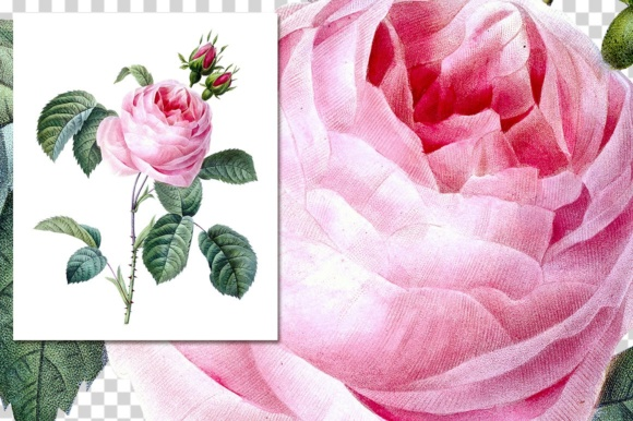 Pink Cabbage Rose Watercolor Graphic Illustrations By Enliven Designs - Image 6