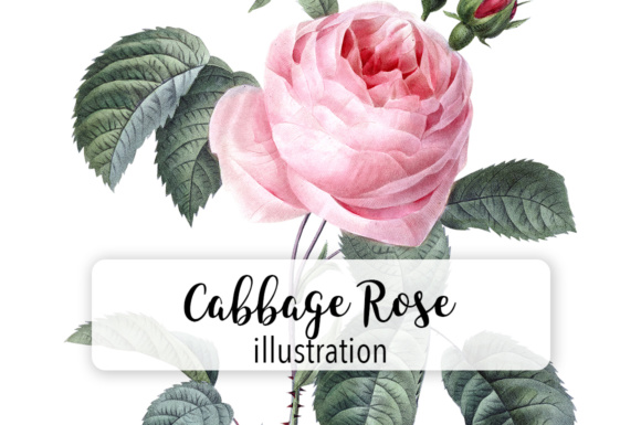 Pink Cabbage Rose Watercolor Graphic Illustrations By Enliven Designs