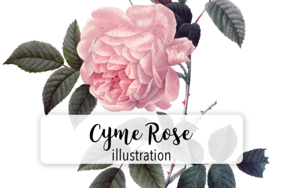 Pink Cyme Rose Watercolor Graphic Illustrations By Enliven Designs