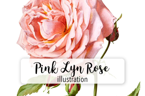 Pink Lyn Rose Watercolor Graphic Illustrations By Enliven Designs