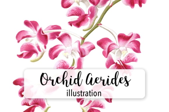 Pink Orchid Aerides Crassifolium Watercolor Graphic Illustrations By Enliven Designs